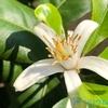 【レモン栽培】雄花・雌花の判別と人工授粉について