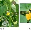 キュウリの疑問三つ「夏定番のキュウリ.夏秋物は春冬物の何倍収穫されているのでしょうか?」「キュウリに一番近いのはメロン・スイカ・カボチャのどれなんでしょうか?そして最も遠い種は?」「胡瓜,黄瓜,木瓜.この中でキュウリの正しい漢字はどれでしょう?」