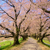 今年は京都、背割堤の桜のお花見に行きたい。圧巻のソメイヨシノの桜のトンネル。
