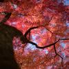 青空を紅く染めるイロハモミジ:森林研究所