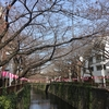 【目黒川】中目黒の桜 開花状況【2017年3月25日】