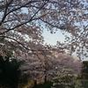 桜:夕日公園(島根県浜田市)