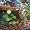 メダカビオトープにオススメ植物その①…熱帯性睡蓮