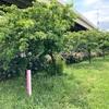 あだち五色桜の散歩道  足立区江北