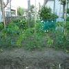 トマトの肥料効果を実験-その3