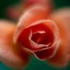 全部で31種類:庭のバラ