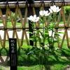 新江戸川公園 肥後芍薬が見ごろとなりました