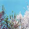 春の花は青い空