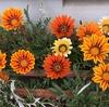 5-39   愛すべき花たち〜ガザニアが咲いています〜