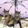 ねこは傘がすき⁉️ねこの相合い傘♡