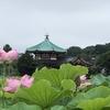 不忍池の蓮の花🌸
