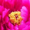 花の雨&次々と咲く変わり咲きのチューリップ&春の山の恵み筍と蕨いただきます♪