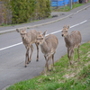 今日の一枚(98) 鹿の散歩