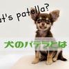 犬のパテラ(膝蓋骨脱臼)とは