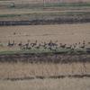 江戸崎のオオヒシクイの群れとマガン