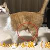 【猫ブログ】猫ちゃんのたるんだお腹には、秘密がある?