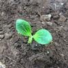 カボチャ(多分)の苗を地植えにする