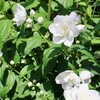 「佐久の季節便り」、「アフチ(樗)」の枝先に、花序を確認…。
