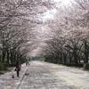 柏の葉公園の桜