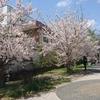 北新横浜の桜スポット