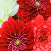 ダリア④ Bouquet