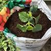 4-38   愛すべき野菜たち〜オクラを育てる〜