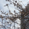桜の開花状況 浜町緑道公園 2018/3/18