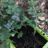 食用菊の挿し芽の植え替え