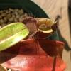 rafflesiana廃棄 ampullaria OMBⅡ 袋展開