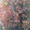外のブルーベリーは紅葉してきました。