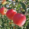 りんご狩り、郷土料理「笹ずし」作り:飯山市百姓塾9月講座[2]
