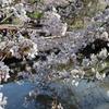 【鎌倉いいね】3月24日鎌倉さくら開花状況ご報告。