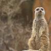 20年ぶりに行った動物園でミーアキャットに出会った 動物園は被写体の宝庫