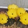 サボテンの花・・