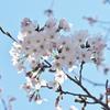 校庭の桜        Kirschblüten