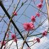 花桃の色は数日で変わりまして