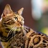 湯布院ヒョウ猫の森さんのベンガルさん