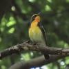 石神井公園の野鳥 キビタキ・オオタカ他 2021年5月30日