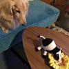 愛犬jya-jya2つの長寿の秘訣(食事編)!!