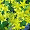 メキシコマンネングサの花