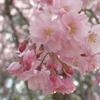 姫路城で最後の観桜会