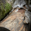 樫の木の丸太