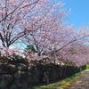 中日桜が咲きました(西方寺)2020 - 風に吹かれて隠れ里