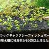 ブラックギャラクシーフィッシュボーン爆殖水槽稚海老が60匹以上!