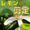 【レモン栽培】とてもわかりやすい剪定の解説【柑橘類の育て方】