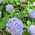 6月の贅沢、紫陽花を満喫しました