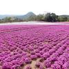 芝桜:花夢の里 - Flower  village-  ④(広島県世羅町)