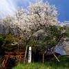 Sakura Shooting 3 🌸 … 平泉、衣川 花見散歩「 一本桜 」