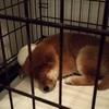 柴犬が自宅に来てから生後3か月までの飼育エピソード