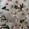 桜めぐり 2018 ~君ヶ岡公園~